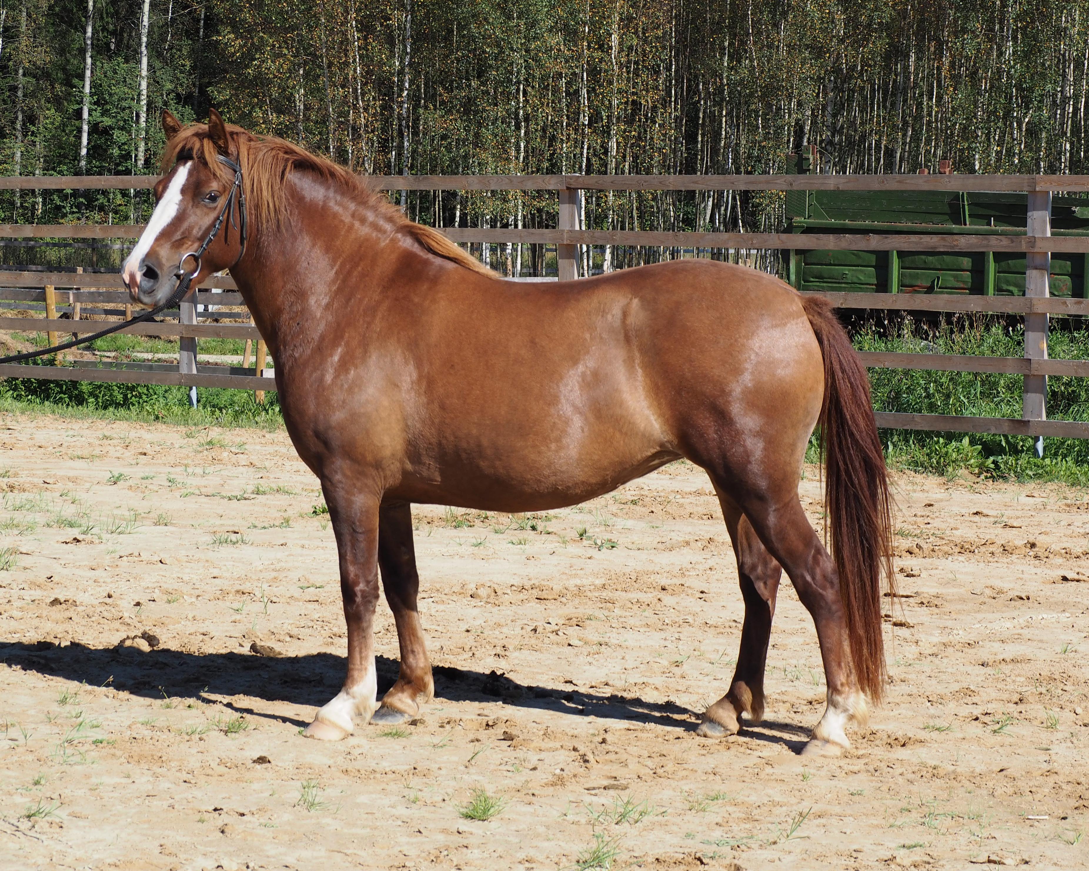Mis suurusega hobune Peenise suurused loomadel ja inimestel