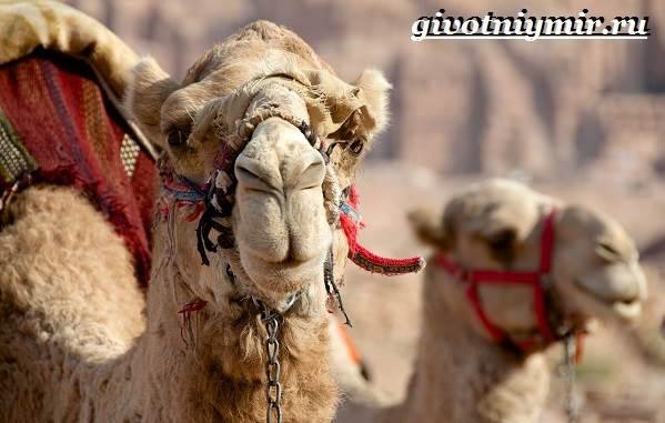 Mis suurusi kaameli liige Liige, suurenenud veeni